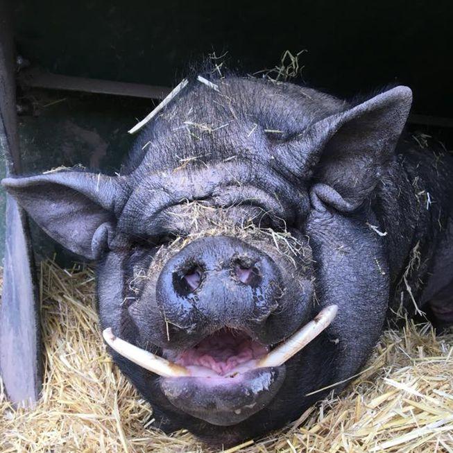 Simon, a pig from Manor Farm