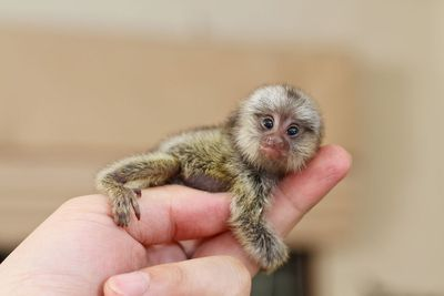 extremely tiny monkey, a pygmy marmoset, clasping the middle finger and thumb of human hand