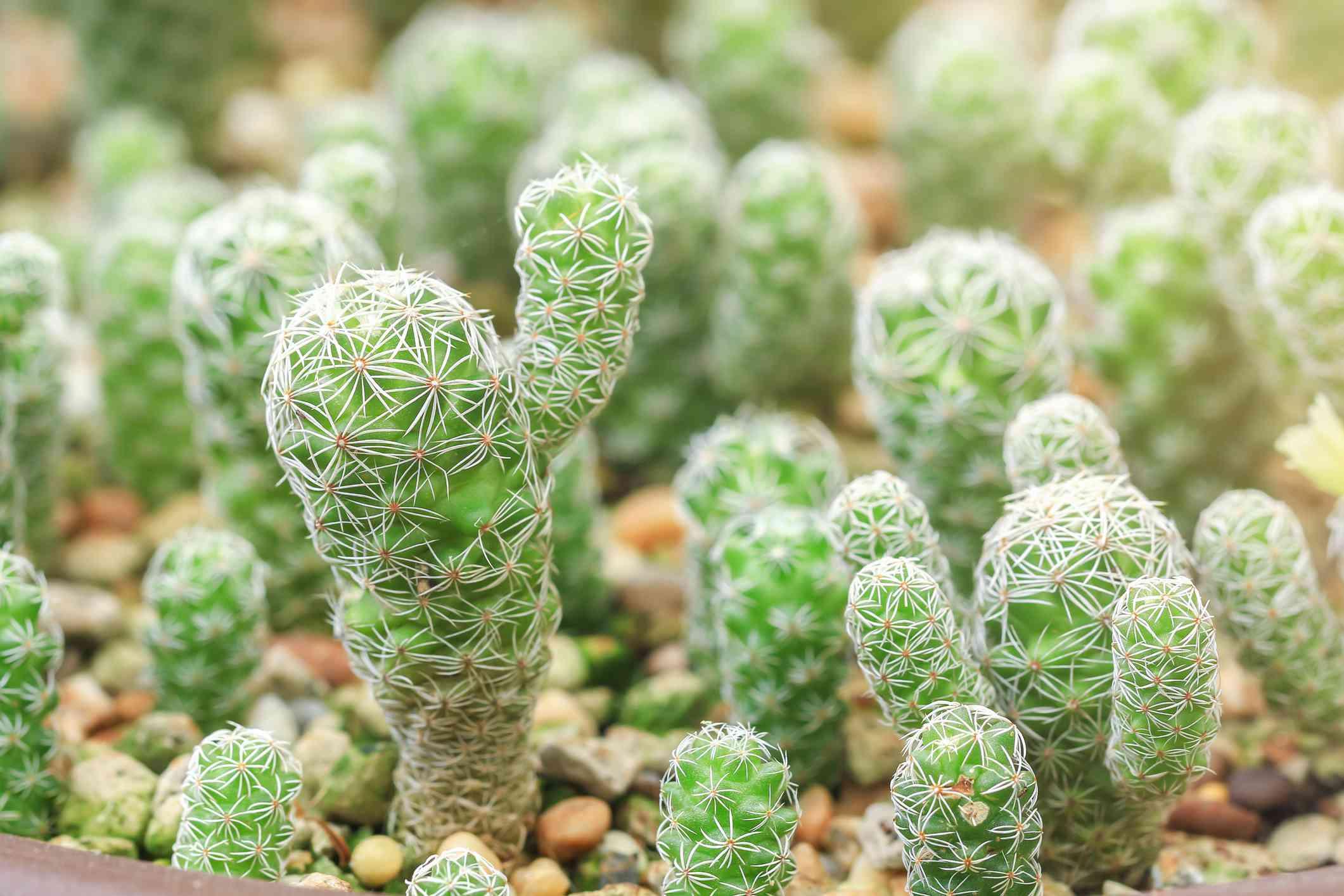 Thimble cacti in a pot