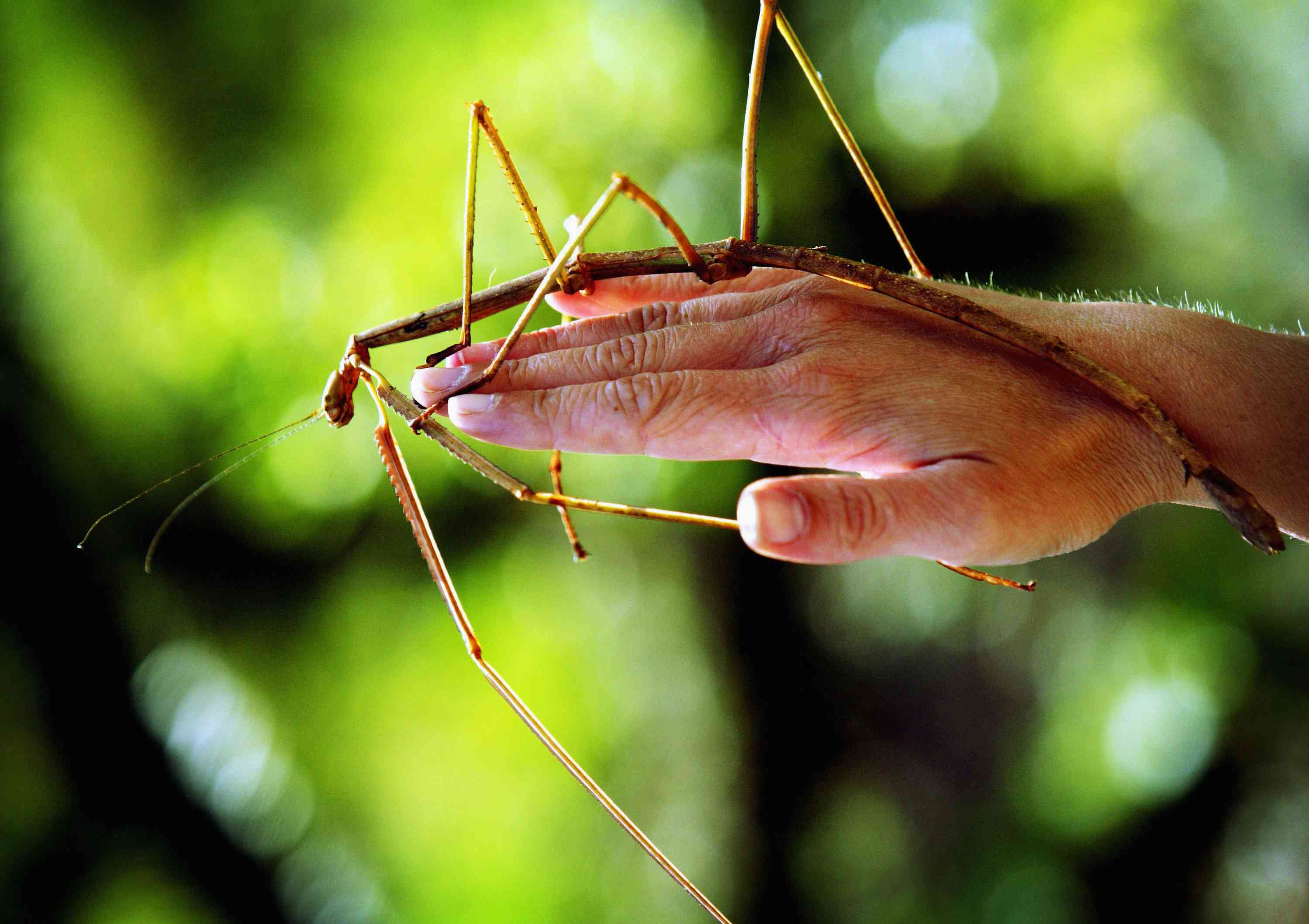 a brown giant stick insect resting on a person's hand