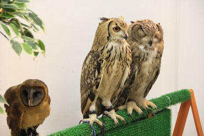 Owls in a Japanese cafe.