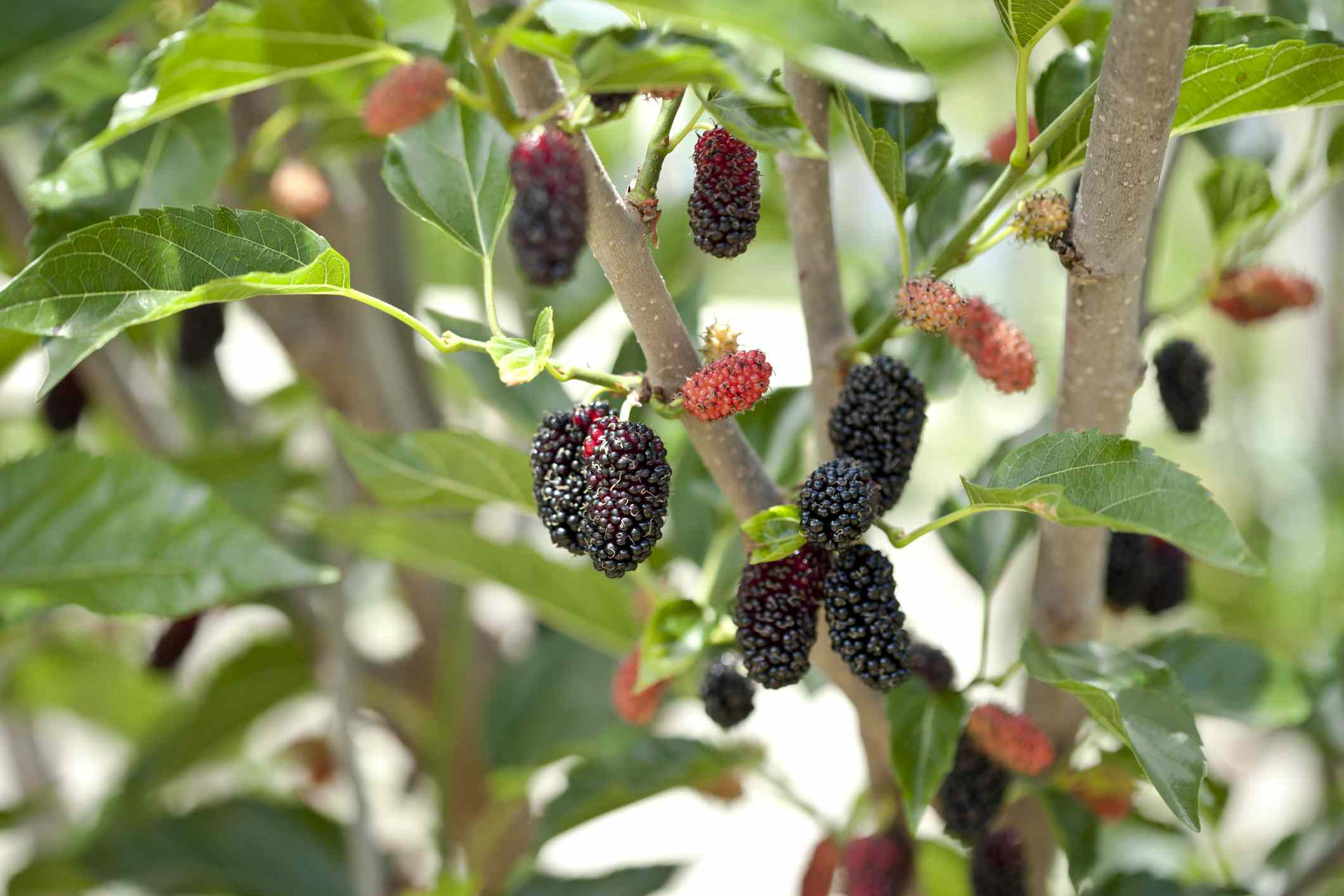 mulberries on a miniature mulberry tree