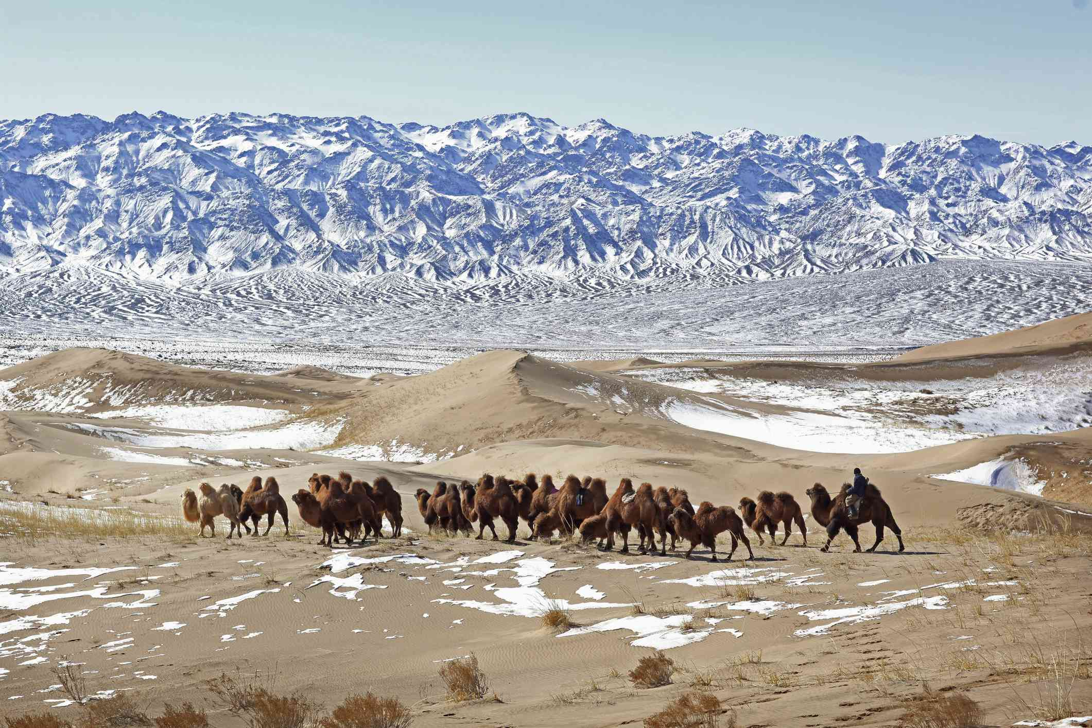 Nomad corrals a caravan of camels across snowy Gobi Desert