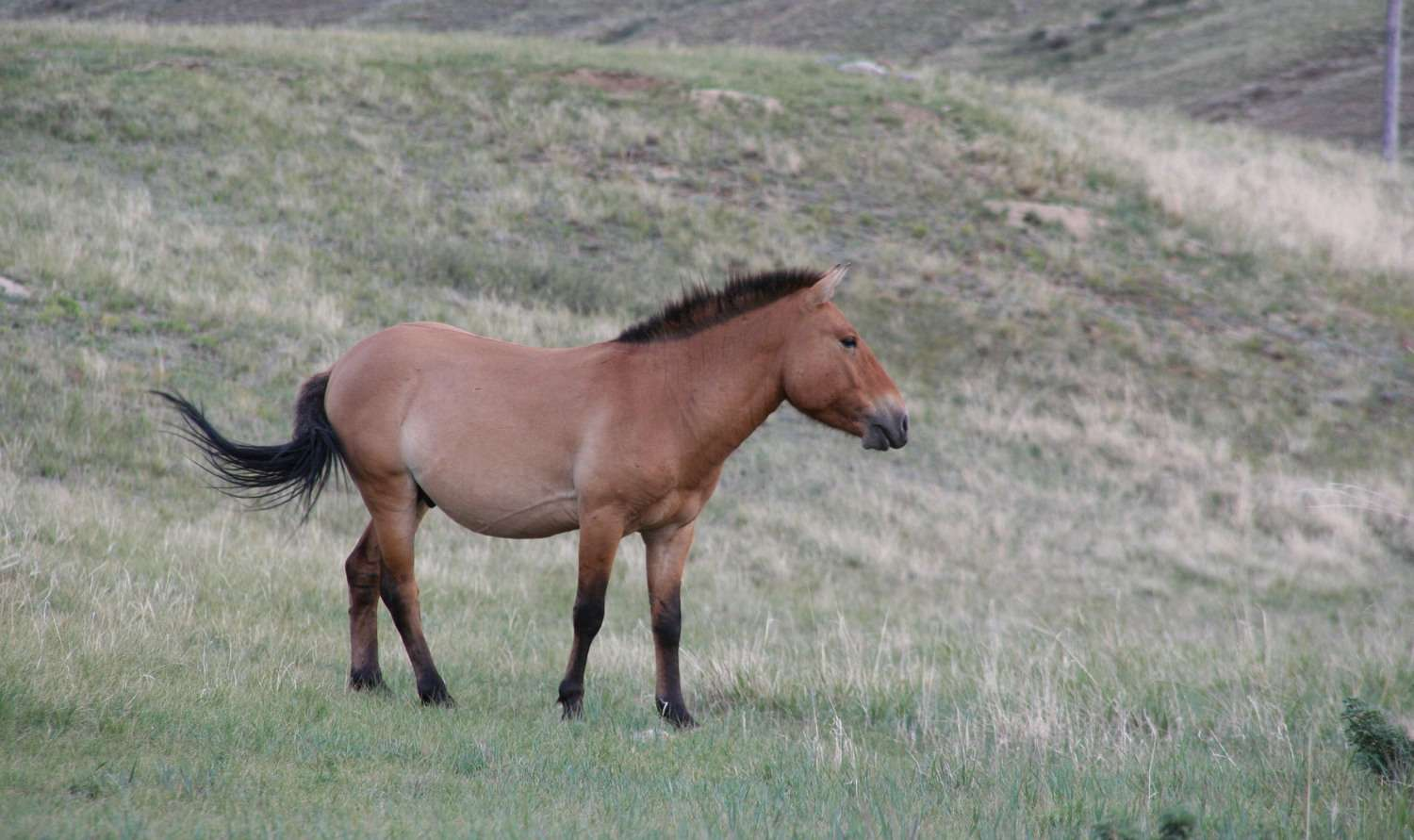 A brown Przewalski's horse standing on a grassy hill in Hustain Nuruu National Park.
