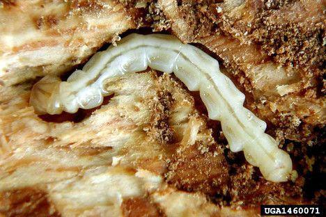emerald ash borer larvae photo