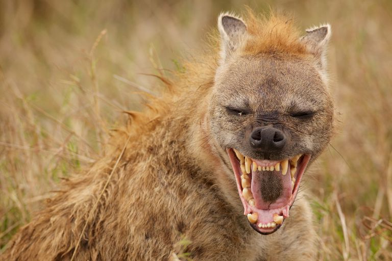 A male hyena bares sharp teeth in a laugh as he roams outside in Kenya
