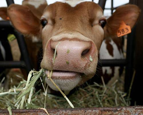 Close up of a cow chewing grass