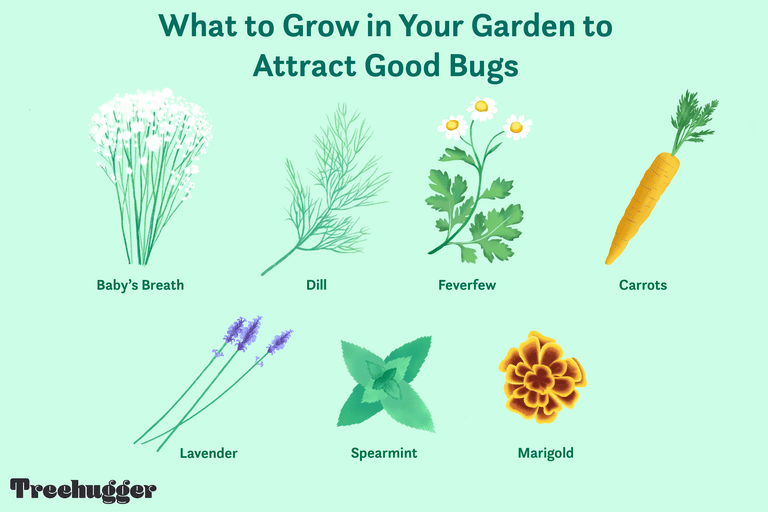 what to grow in garden to attract good bugs illo