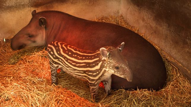 A tapir baby, with its distinctive striped and spotted coloring, and its solid colored parent