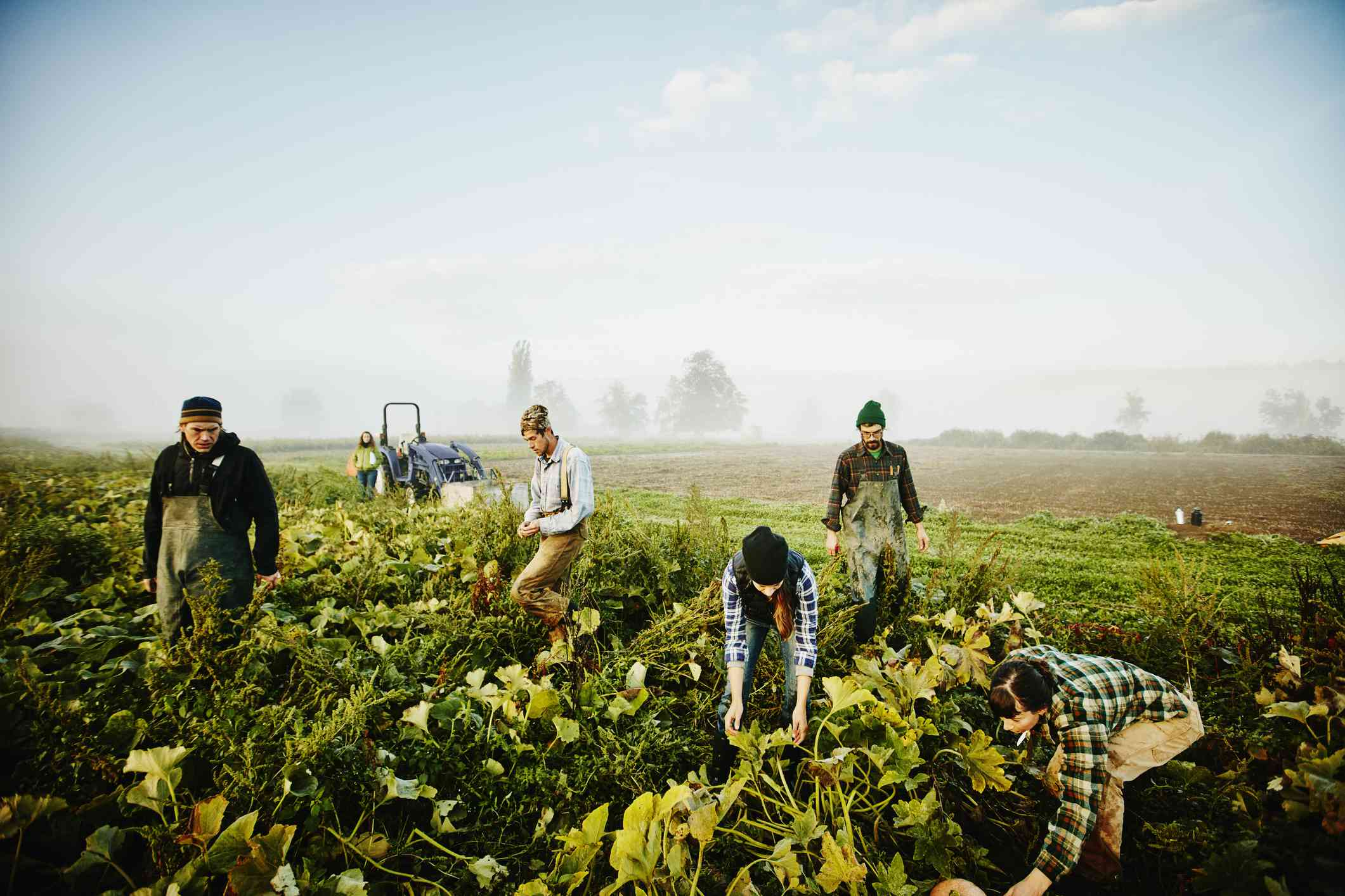 Young farmers working in a misty field together picking vegetables.