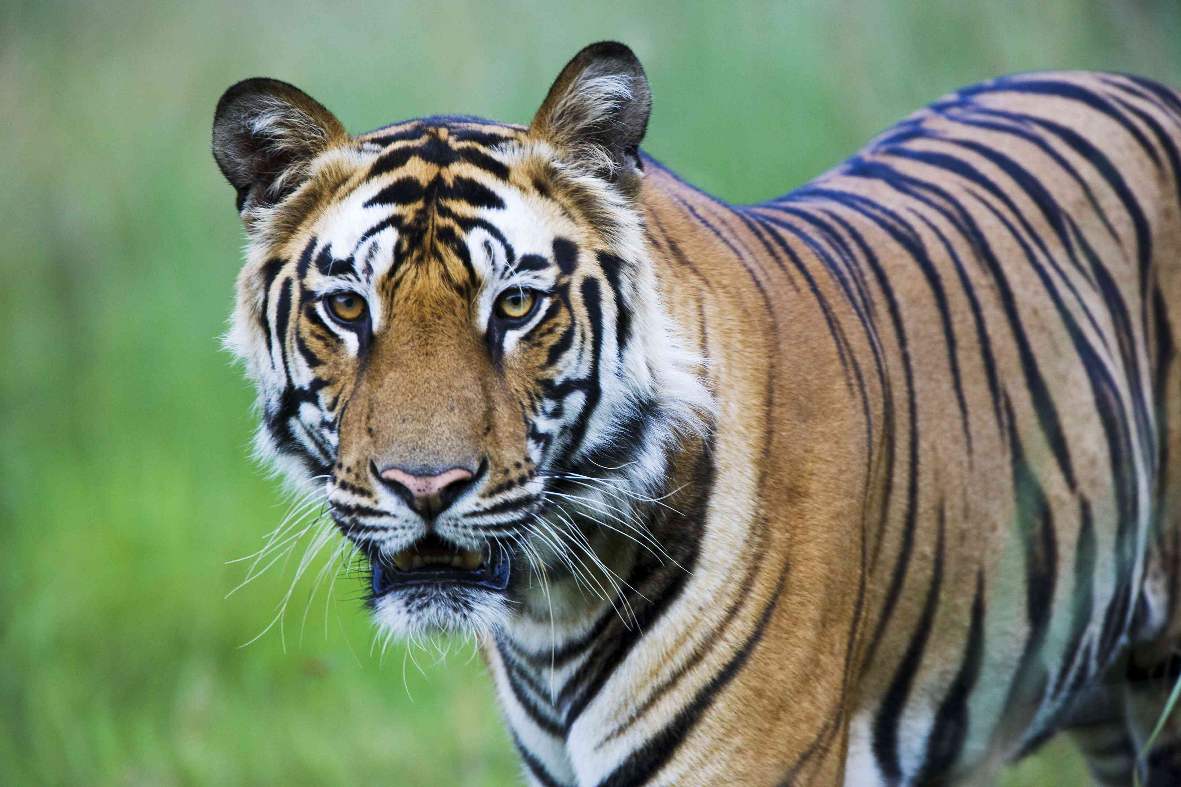 A tiger faces front with grasslands in background.