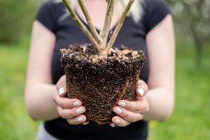 person holds tree seedling with root ball (in tight focus) out to camera