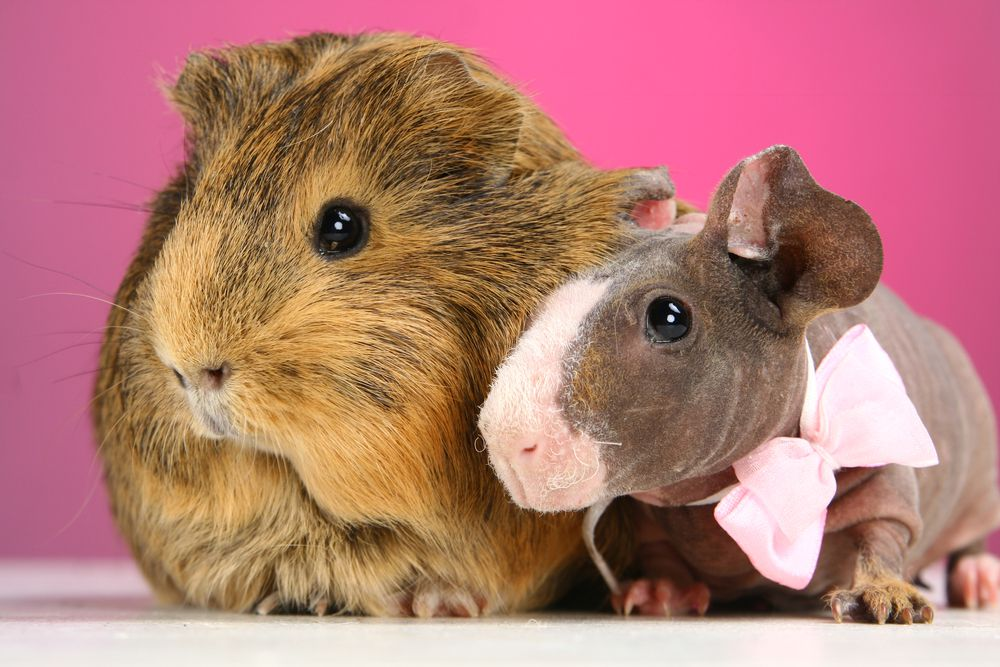 Hairless guinea pigs may look smaller than their hairy counterparts, but that's mostly just perception.