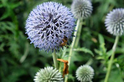 Bees sitting on Echinops bannaticus blue globe thistle
