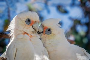 Close up of two Australian cockatoos interacting outside.