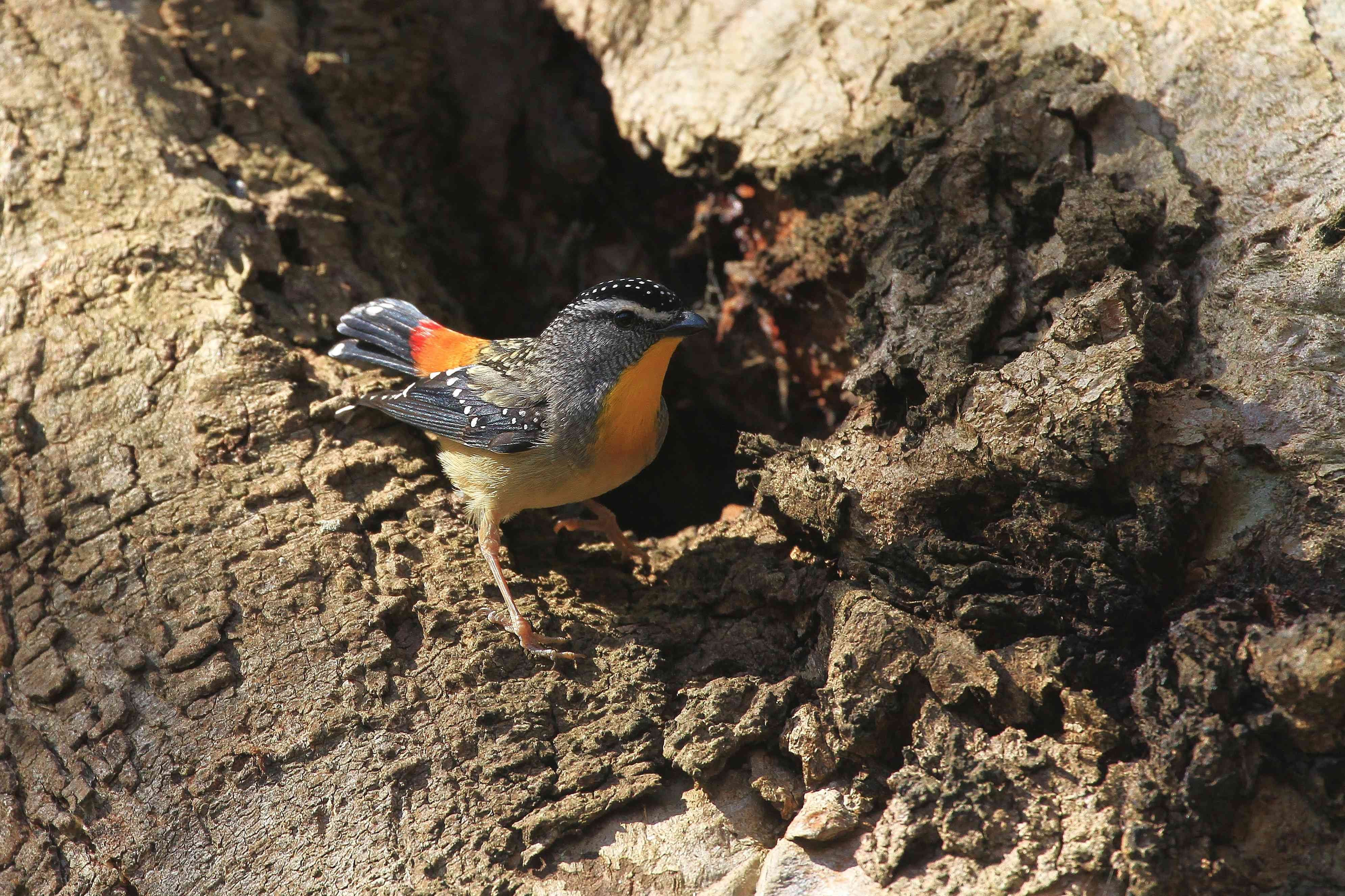 A Spotted Pardalote bird perches on a tree