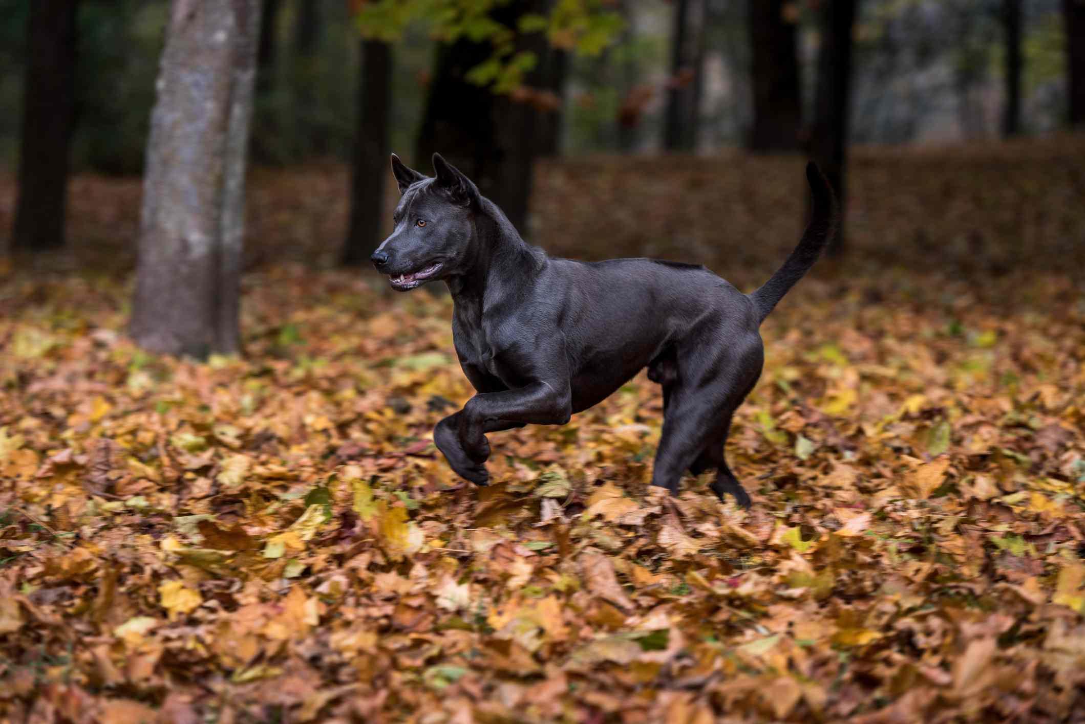 sleek black thai ridgeback running through fallen autumn leaves