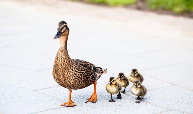 A family of ducks on a sidewalk
