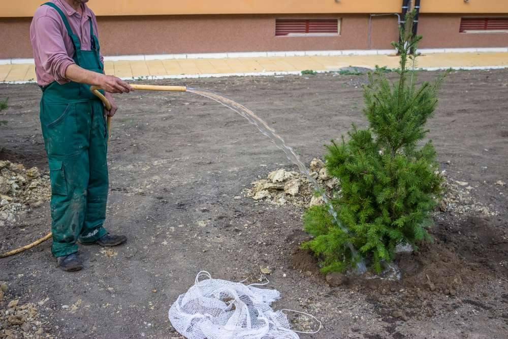 Watering a replanted tree