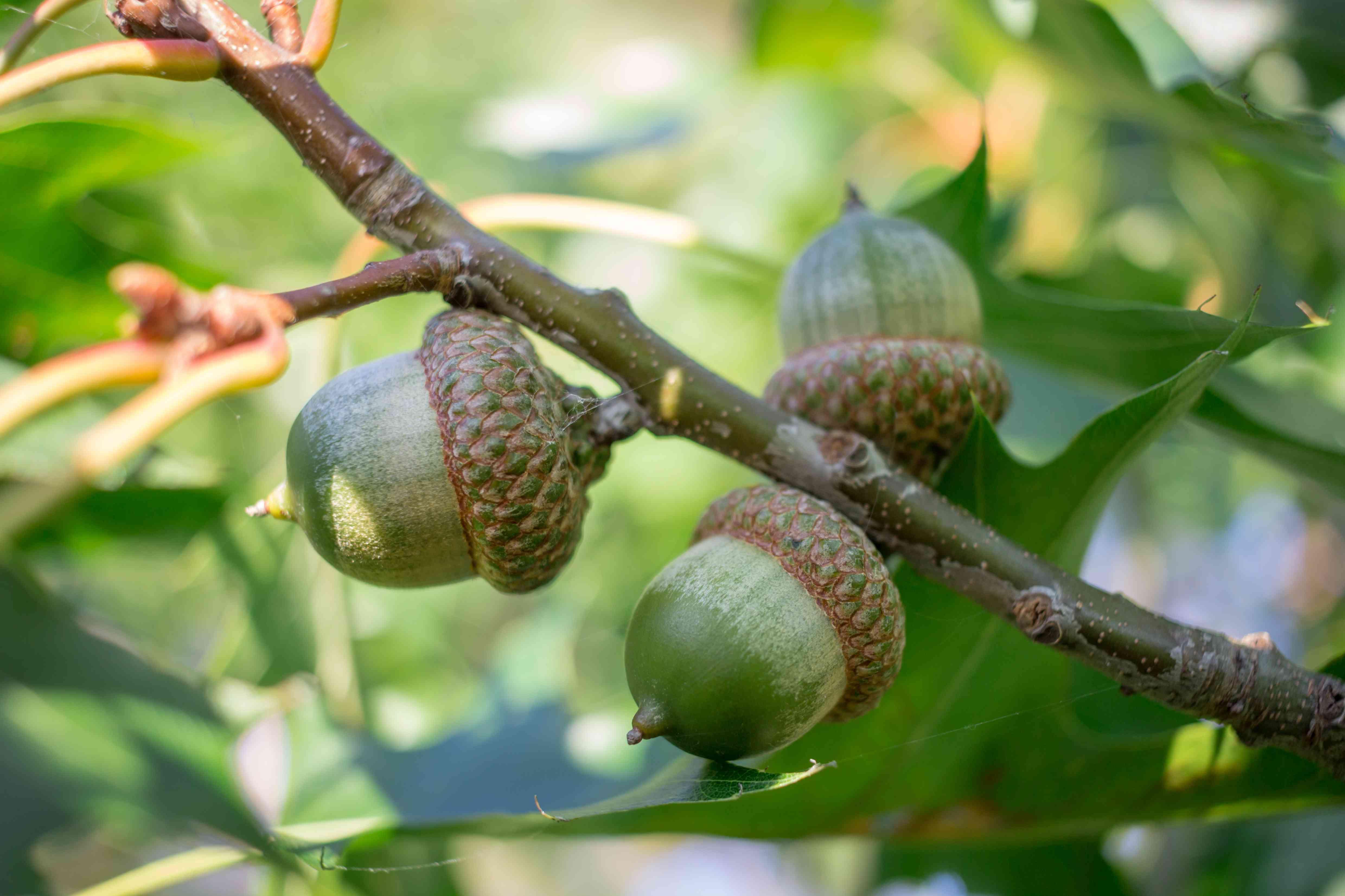 Three green acorn nuts on laurel oak tree branches