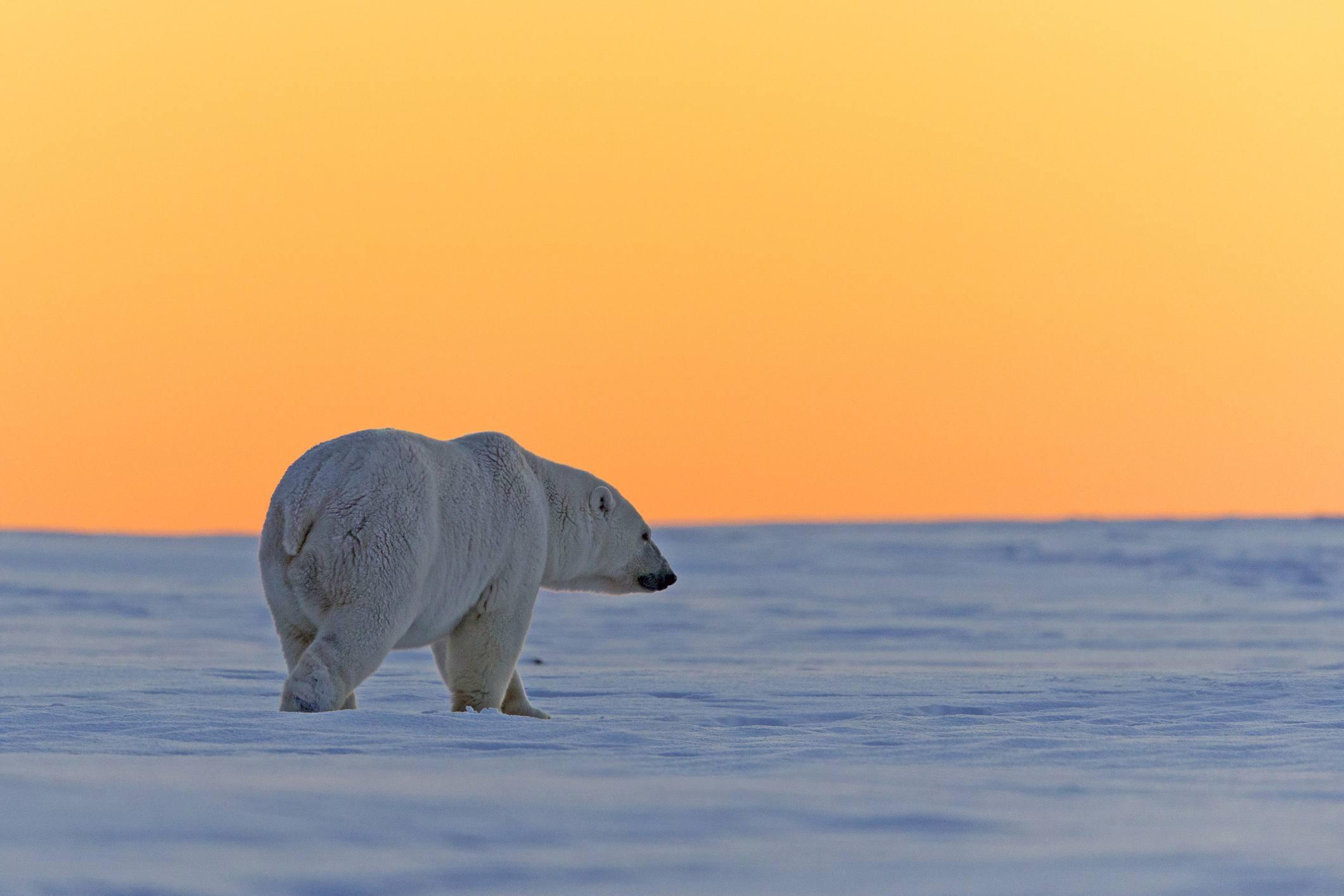 Polar bear walking alone under an orange sky