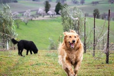 Dogs running around at AmByth Estate