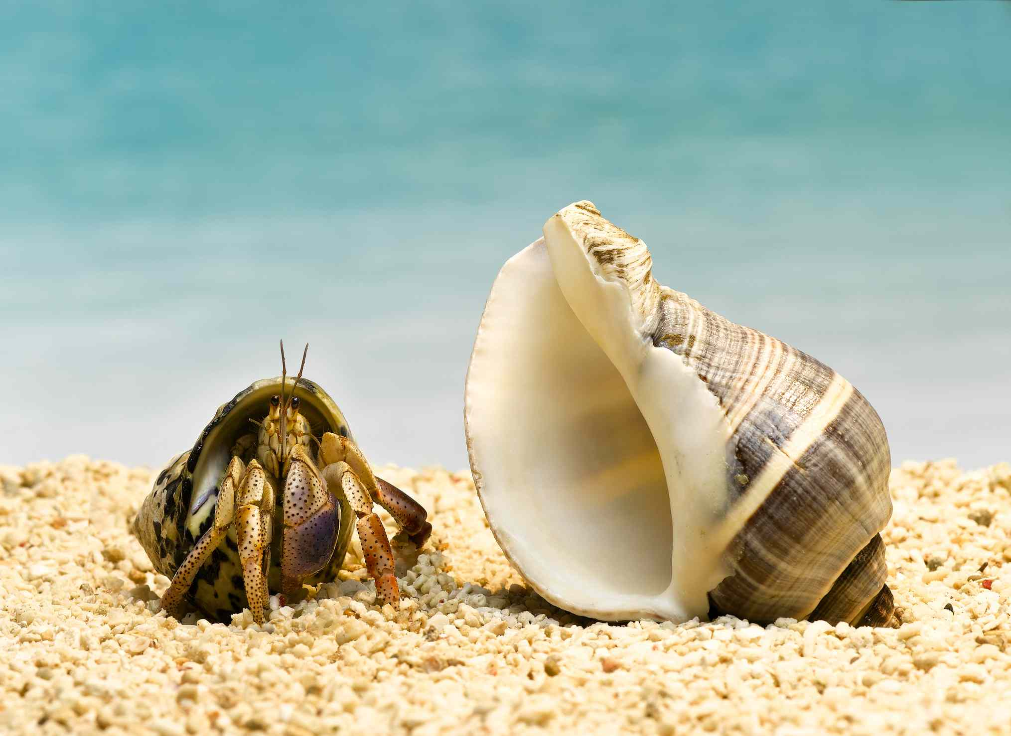 A hermit crab on sand next to a larger shell