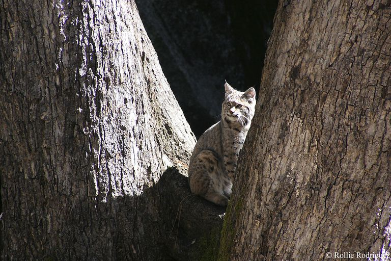 A bobcat sitting between two trees