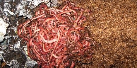 vermicomposting photograph
