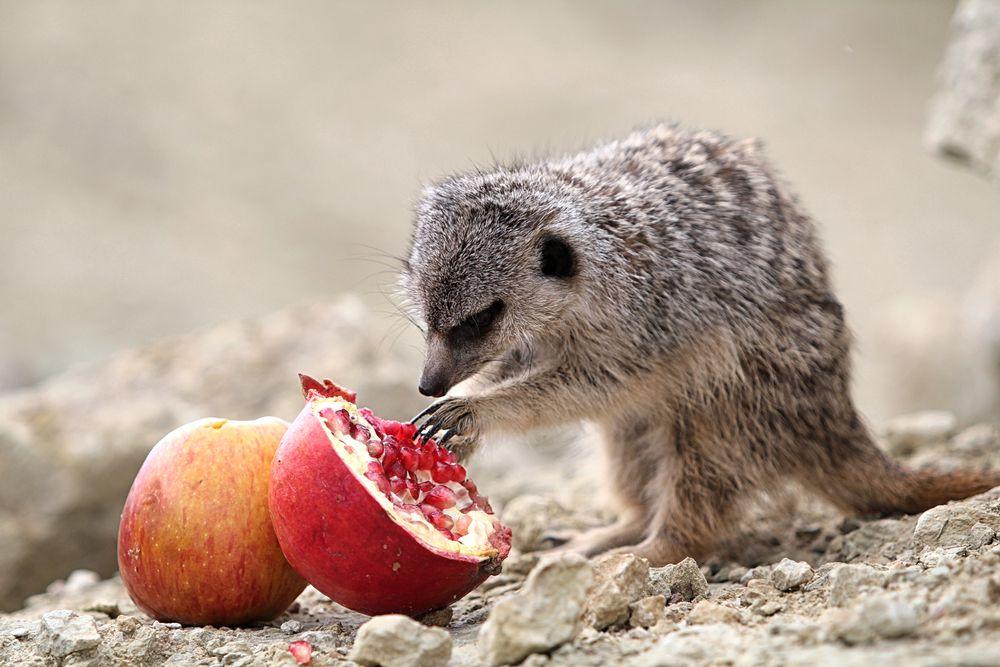 young meerkat eating fruit
