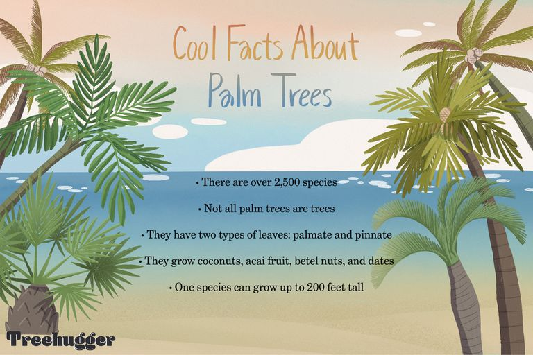 cool facts about palm trees