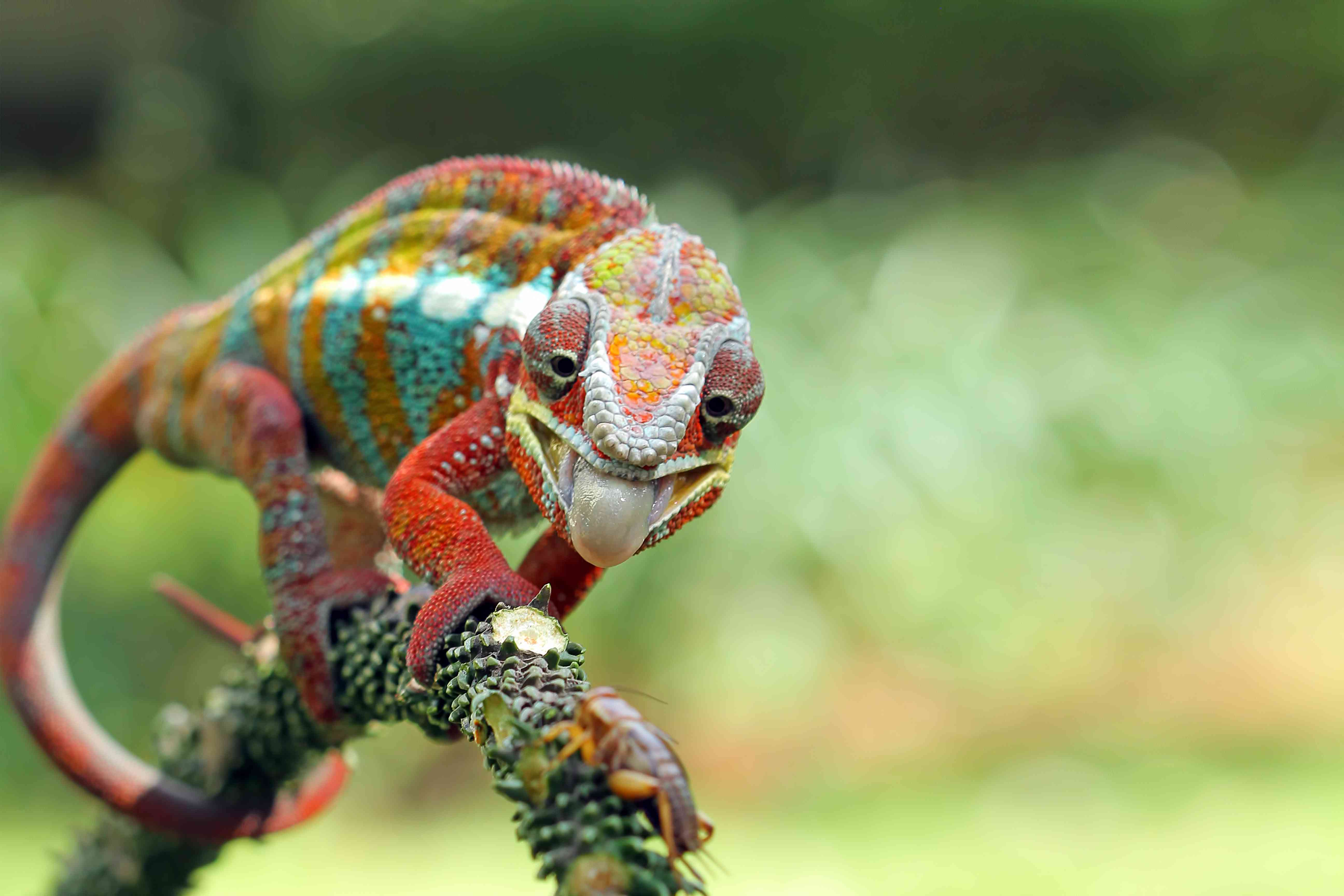 Colorful panther chameleon with tongue out on branch