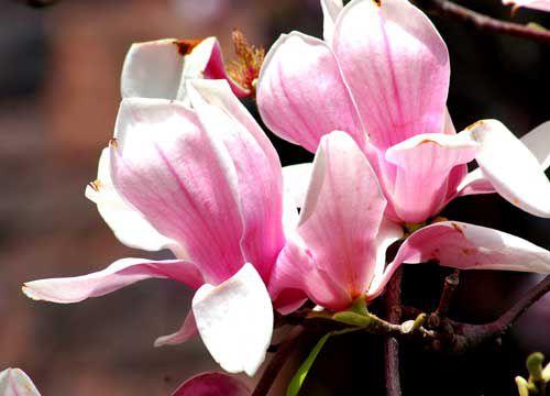 Saucer magnolia picture.