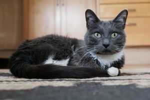 gray and white cat sits on indoor rug while staring intently with wide eyes