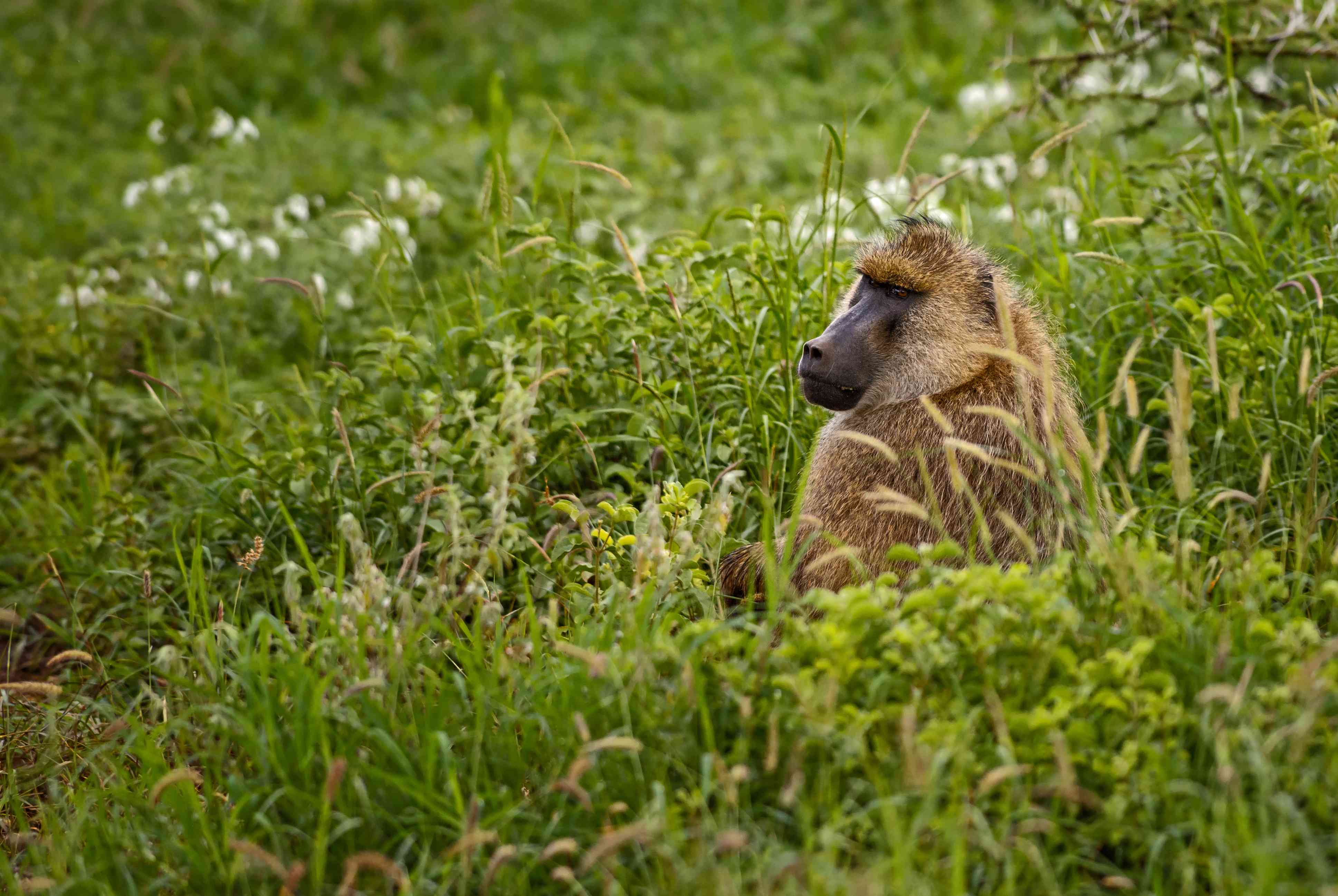 A baboon sits in tall grass.