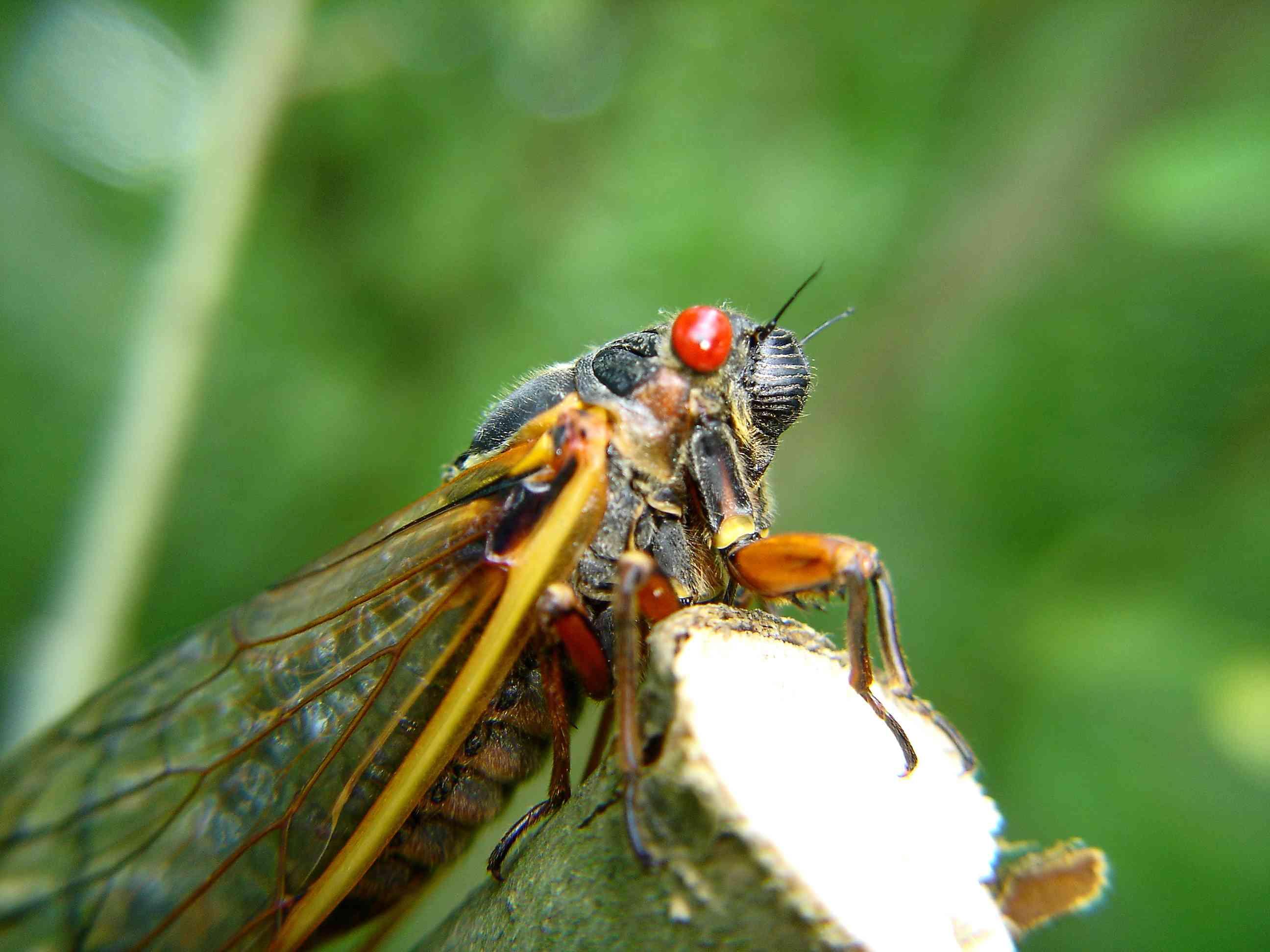 Magicicada, or periodical cicada
