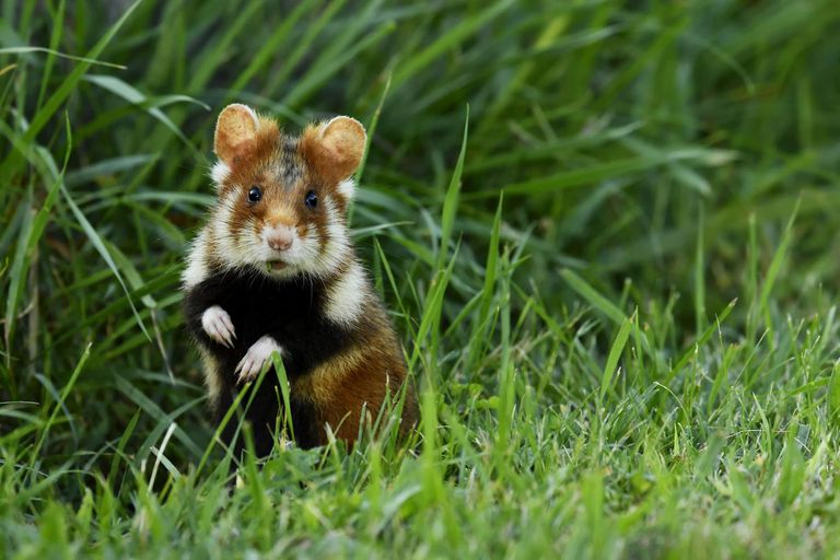 A young European hamster with a black tummy and brown and white fur standing upright in a grassy field.