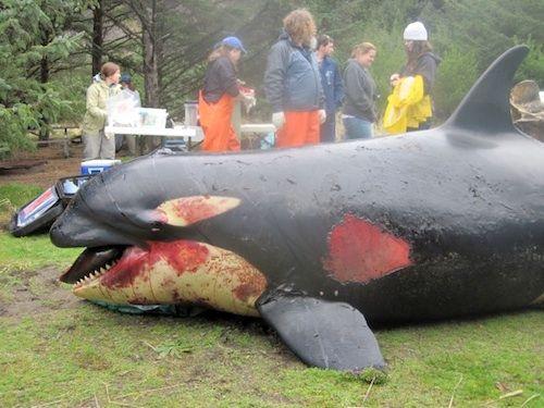 dead killer whale photo.