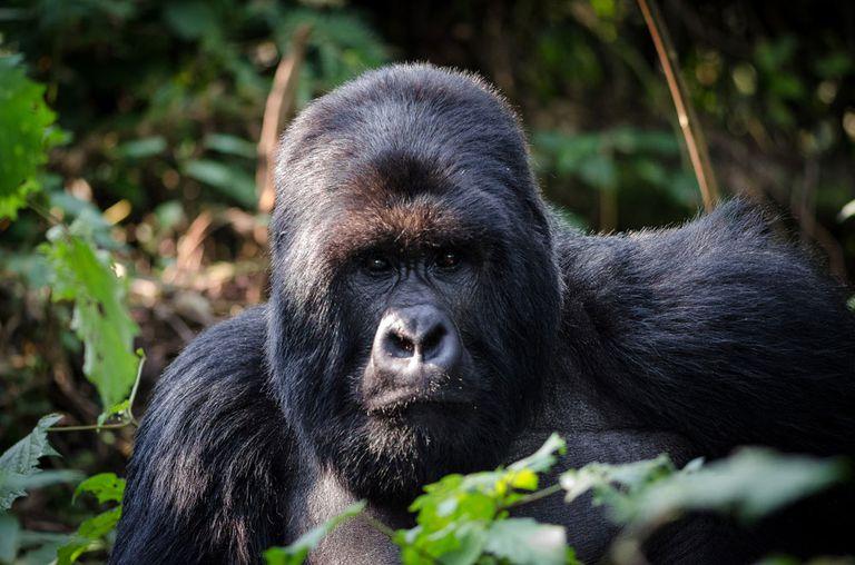 Número récord de gorilas de montaña encontrados en la región de Virunga