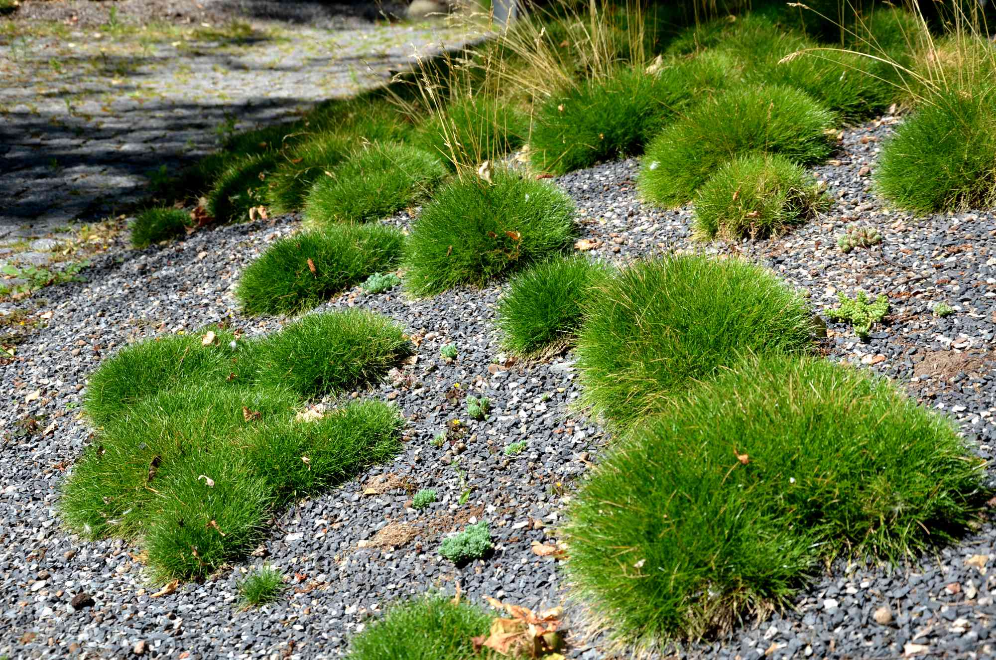 Bunches of fescue grass on a gravel slope