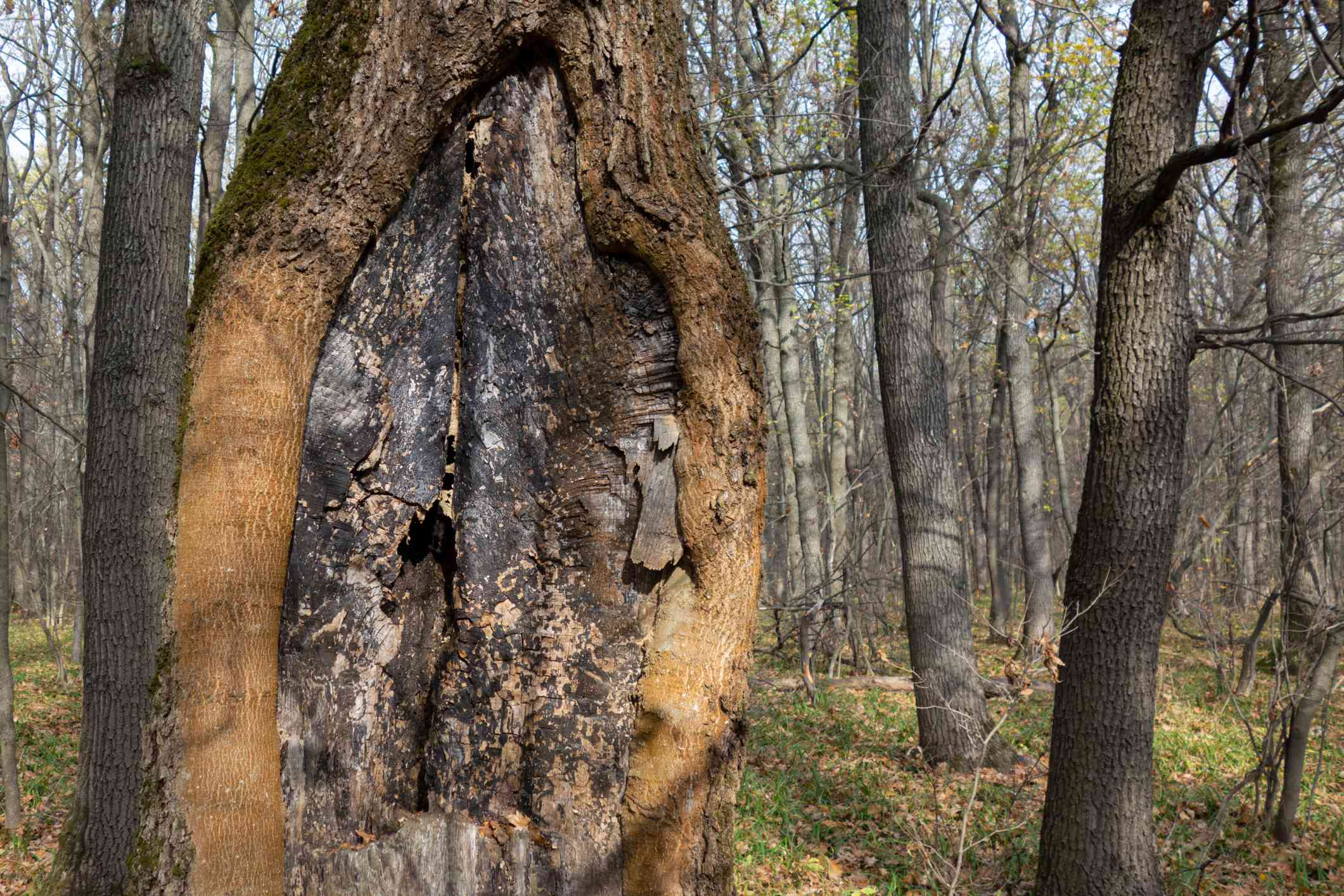 Old tree with bark canker in a forest.