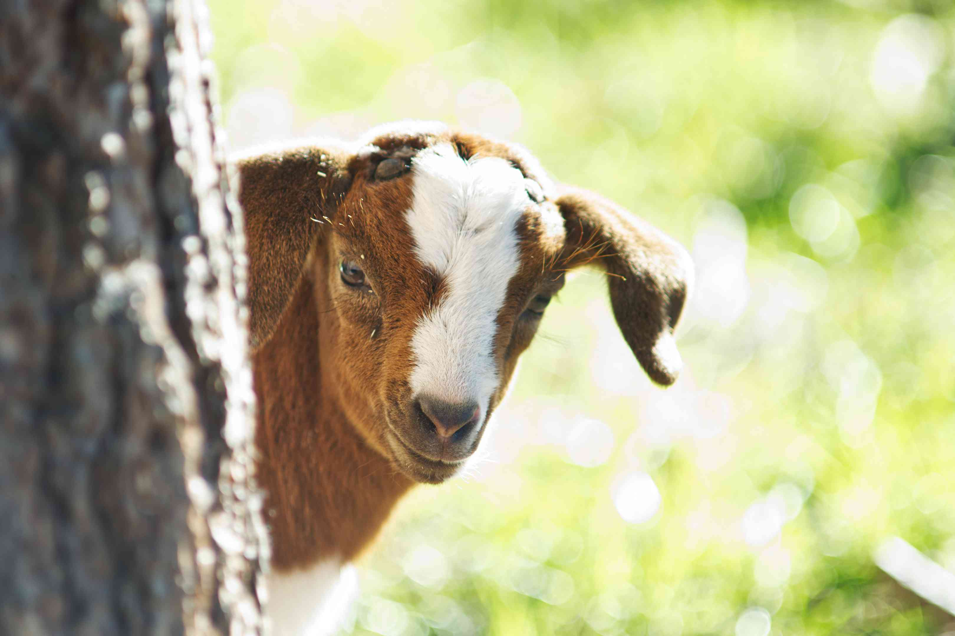 brown and white baby goat peeks head out from tree in bright green grass