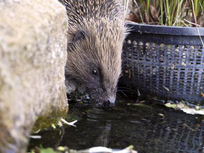 European hedgehog drinking water