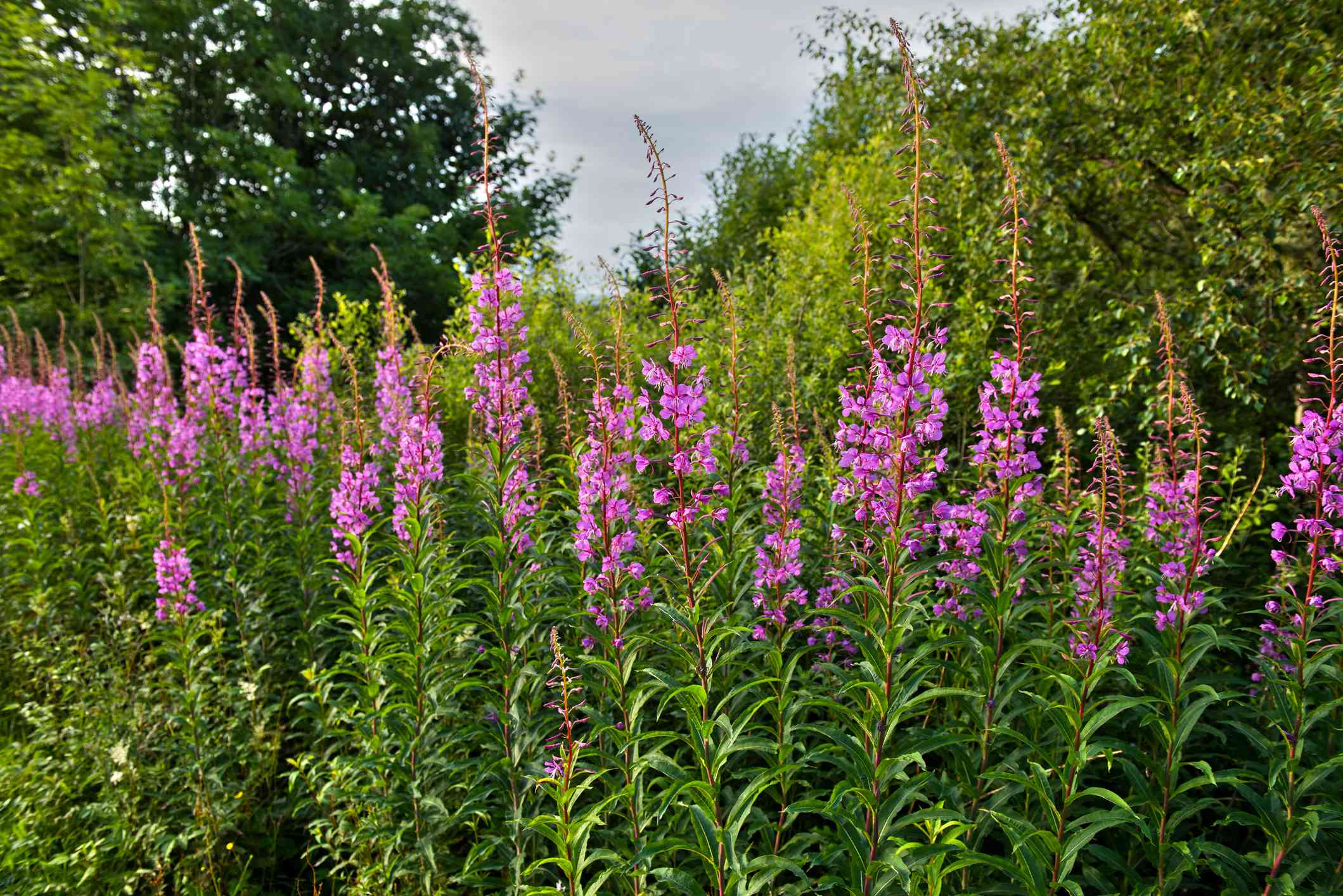 Purple lythrum flowers at Crinan Canal in Scotland