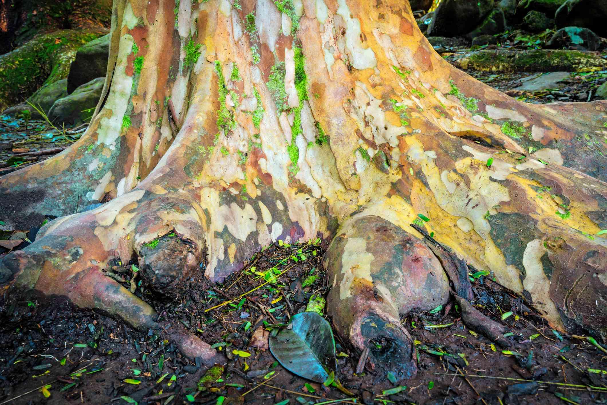 Eucalyptus tree base