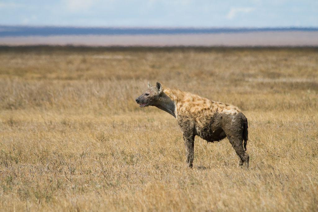 heyena standing in savanna grass