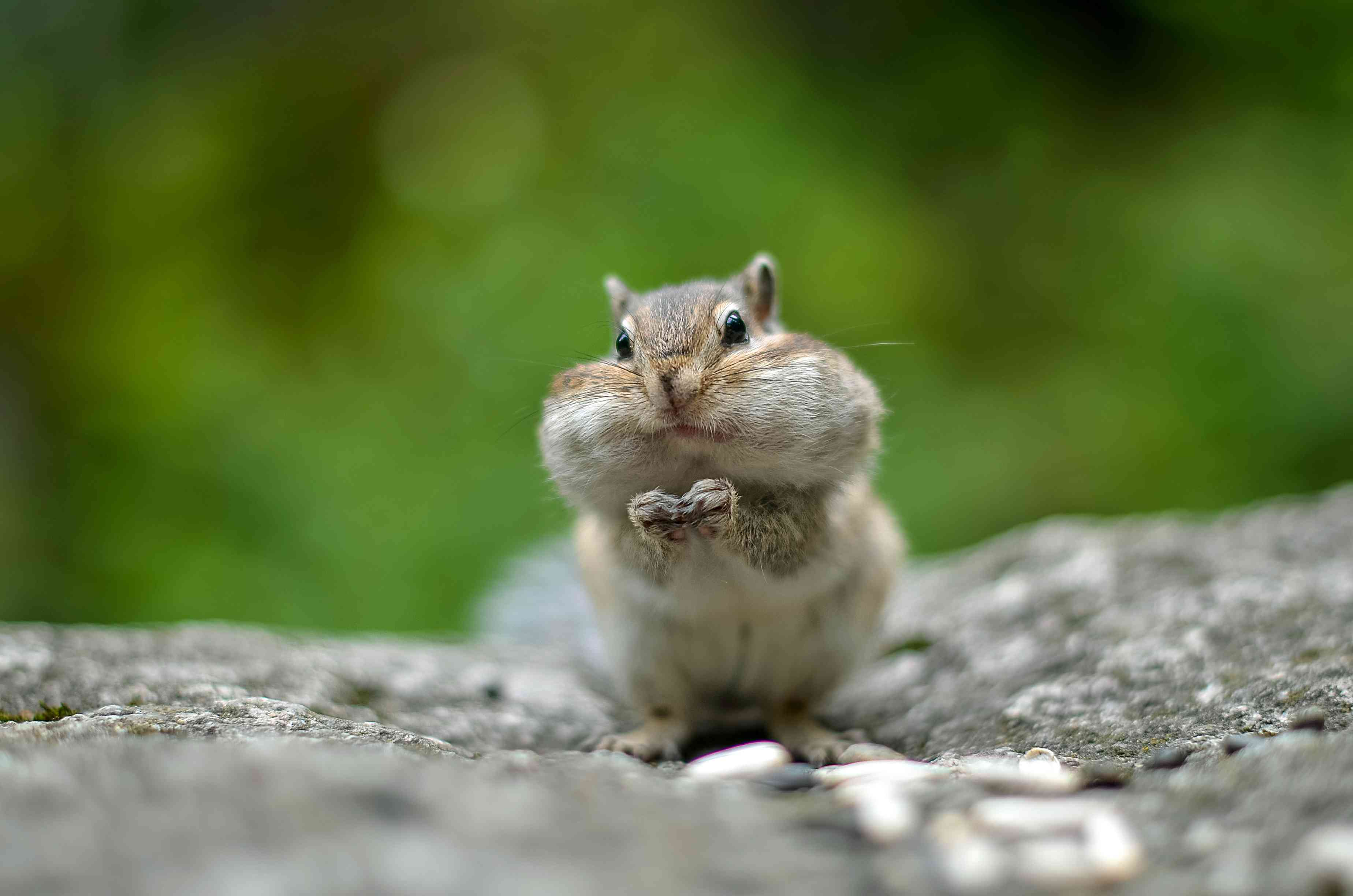 chipmunk with cheeks full of food