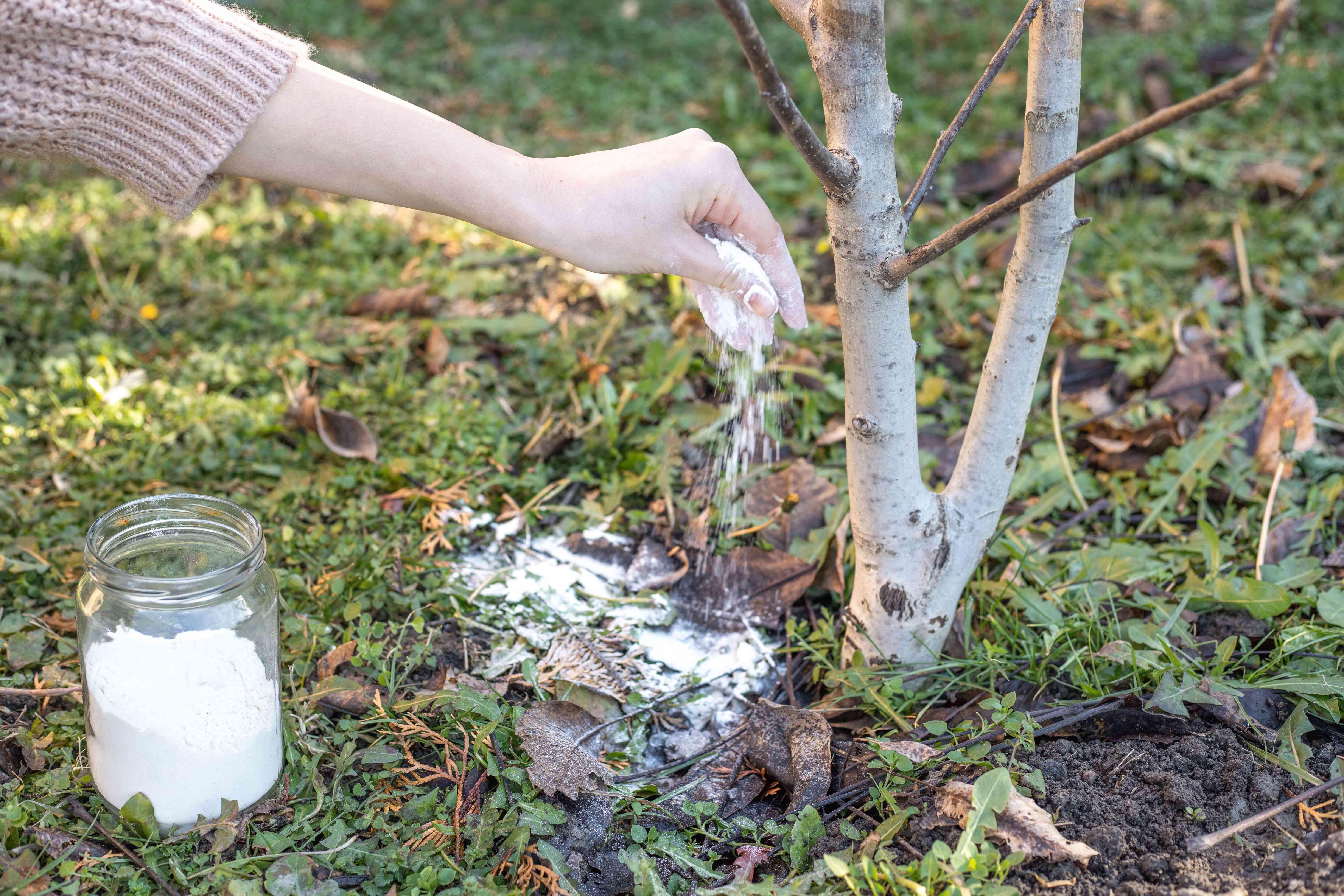 sprinking diatomaceous earth around tree on ground