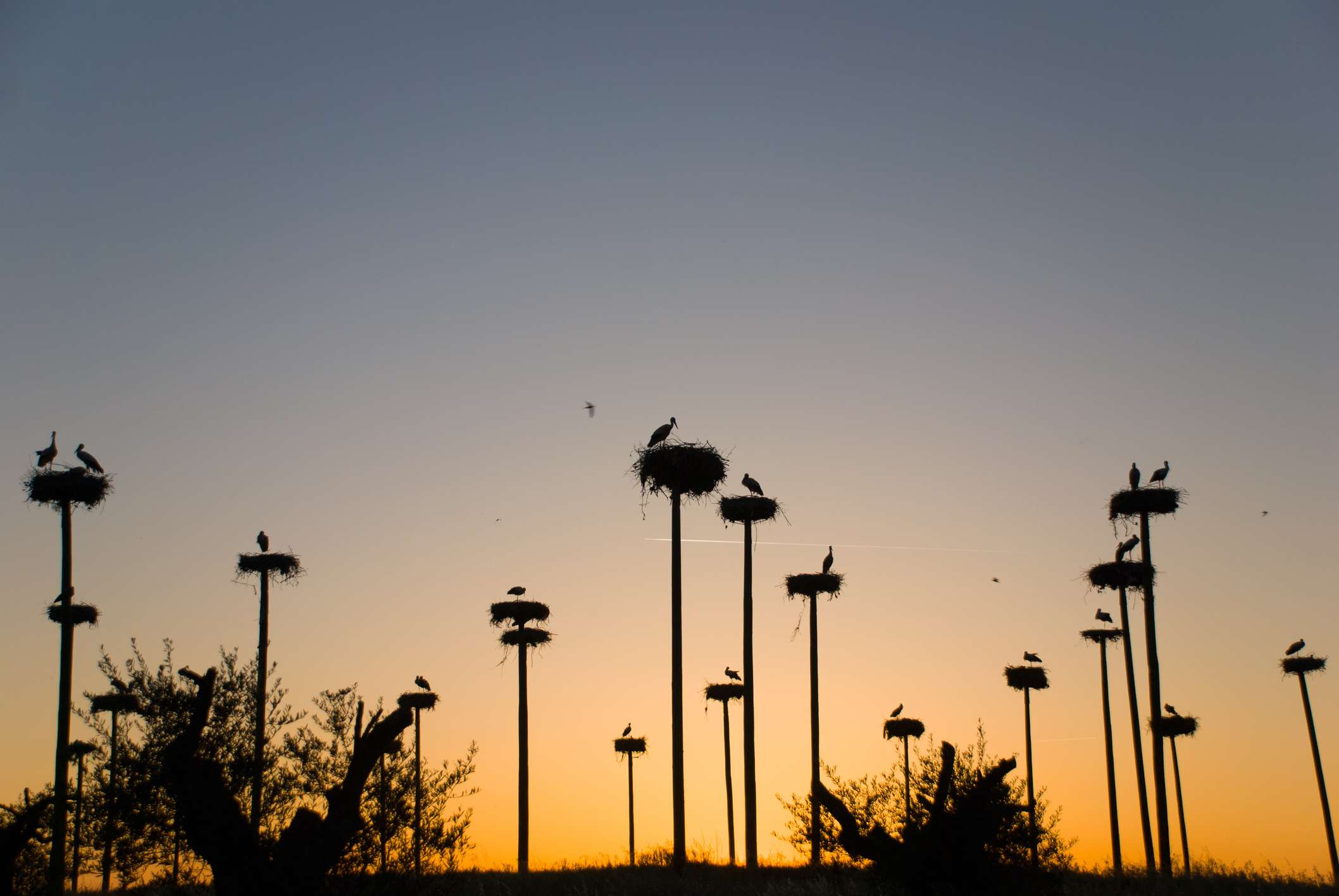 a blue sky fading into orange at sunset with a view of stork nests at the top of 15 tall poles, each nest contains one or two storks