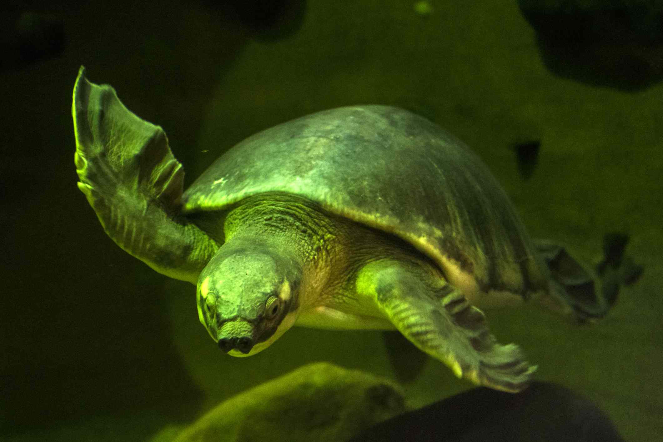 Pig-nosed turtle swimming